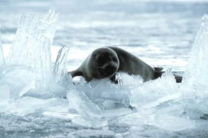 The Lake Baikal seal on ice (photo: Kantor/Greenpeace)